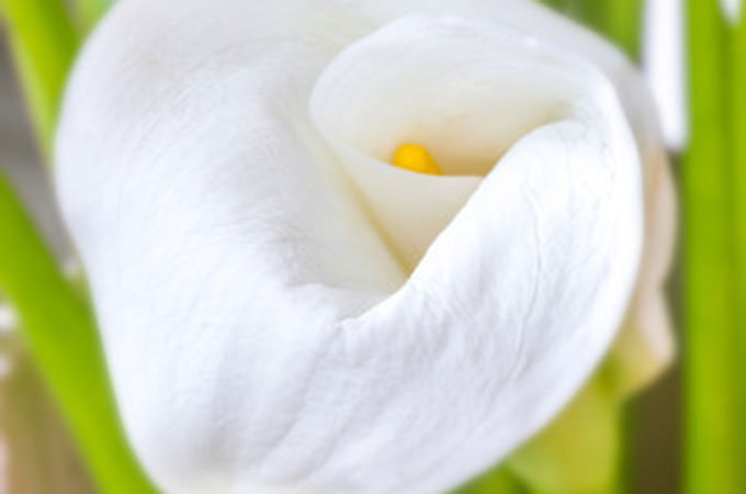 The Calla Lily is the flower of the 6th anniversary & 6th Year Wedding Anniversary Gifts and ideas | Sugar Wedding Anniversary