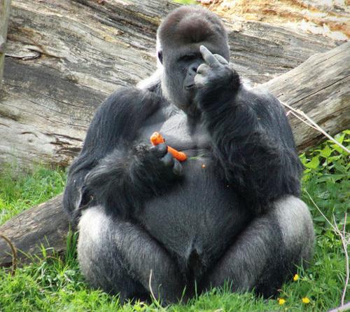 Rude gorilla
