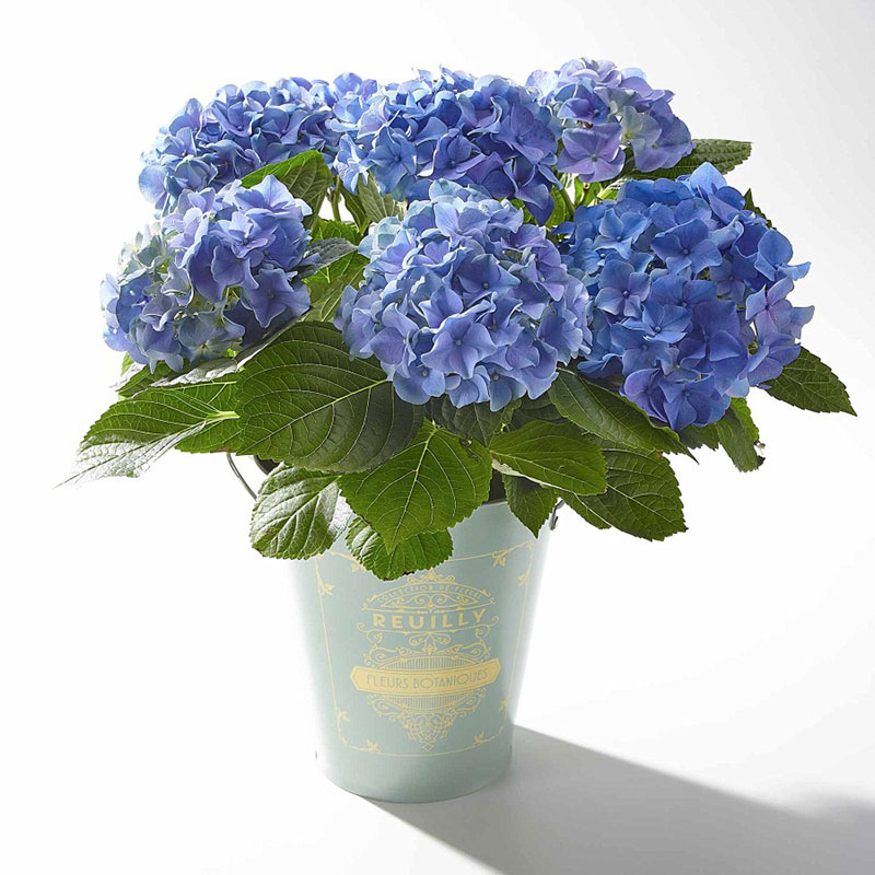 Buy some blue hydrangeas for this anniversary gift.
