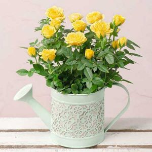 Buy her these yellow rose and watering can gift for this anniversary