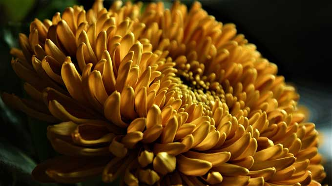 19th wedding anniversary - Chrysanthemum is the traditional flower