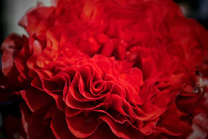 17th wedding anniversary - Flower is the red carnation